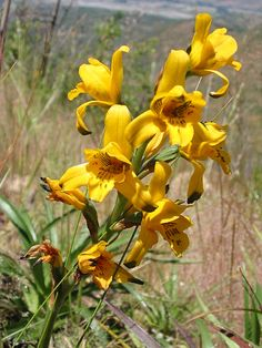 Orchidaceae - Chloraea lindleyi Poepp.