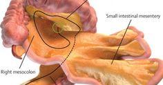 Scientist Discover a New Human Organ