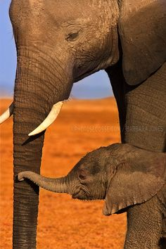 """Tenderness. Elephant Mother and Calf.  Amboseli, Kenya. Africa."" 