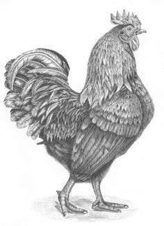 Farmyard Rooster