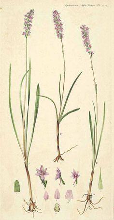 vintage plant illustration habenaria odoratissima