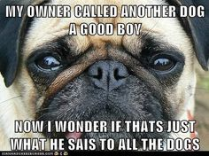 Skeptical #pug asks: Who really IS a good boy?