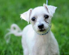 Paolo is an adoptable Poodle Dog in Lambertville, NJ PAOLO is a 5- 6 yr old Poodle mix who weighs a mere 10 pounds. PAOLO is super nice and how he bec ... ...Read more about me on @petfinder.com