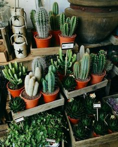 Cactus is a type of plant that is able to live in hot, dry and lacking water conditions. The original cactus habitat is in the desert, which requires the cactus to adapt to its environment in order… Deco Cactus, Cactus Decor, Cactus Flower, Plant Decor, Cactus Cactus, Small Cactus, Cacti And Succulents, Planting Succulents, Planting Flowers