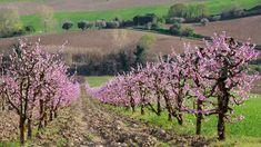 obrázek z archivu ireceptar.cz Vineyard, Plants, Summer, Outdoor, Commercial, Gardening, Tree Structure, Outdoors, Summer Time