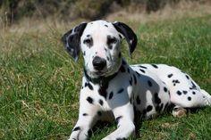 dalmatian #dalmatian