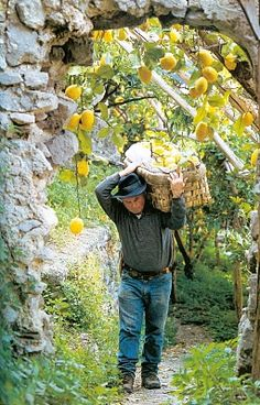The famous lemons of AmalfiI   Italy  Would love to do this with my tree. Famous lemons of the south. Meyer