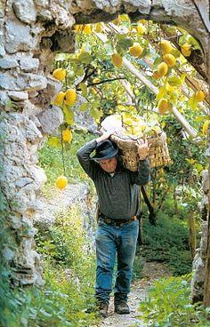 The famous lemons of Amalfi