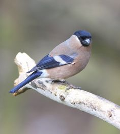 I would like to thank everyone who take the time to view and comment on my photographs it is greatly appreciated and encouraging Pretty Birds, Beautiful Birds, Red Bill, Garden Birds, Bullfinch, Finches, Tropical Birds, Bird Pictures, Blue Jay