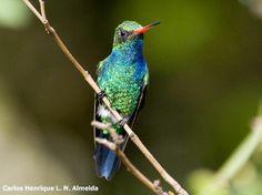 Glittering-bellied Emerald (Chlorostilbon aureoventris) | Glittering-bellied Emerald (Chlorostilbon aureoventris) | Hummingbird