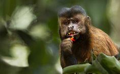Macaco-prego by Araquém Alcântara