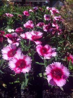 Summer is upon us ☀ Dianthus are semi deer-tolerant and produce beautiful flowers in late spring and early summer. They're a favorite at our nursery! <3