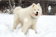 samoyed dog | Samoyed Puppy Pictures