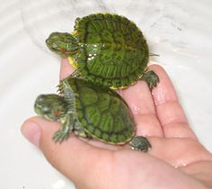 water turtles as pets - I had two of my own, and every time I went to Newberry's Store I would head to the pet section and look at them.