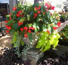 Dragon Wing Begonia, Lime Sweet Potato Vine, and Silver Vine