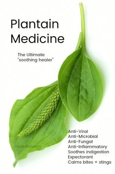 Medicine ~ the ultimate soothing healer!Plantain Medicine ~ the ultimate soothing healer! Cold Home Remedies, Natural Health Remedies, Natural Cures, Natural Healing, Herbal Remedies, Natural Oil, Natural Treatments, Natural Foods, Holistic Healing