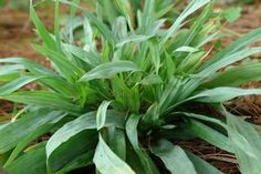 Carex platyphylla Silver sedge from North Creek Nurseries Plants, Grass, Private Garden, Blue Leaves, Soil, Shade Tolerant Plants, Woodland Garden, Garden, Shade Plants