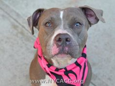 URGENT! THIS DOG WILL BE EUTHANIZED UNLESS A HOLD IS PLACED ON HER BY NOON 8/22/14.  LOG IN TO THE AT RISK LIST TO PLACE A HOLD AND SAVE A LIFE.  http://www.nycacc.org/PublicAtRisk.htm  ........Brooklyn Center  My name is CLAIRE. My Animal ID # is A1009995. I am a female gray and white am pit bull ter mix. The shelter thinks I am about 6 years old.
