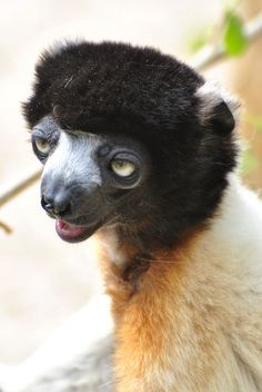 Crowned Sifaka - Google Search