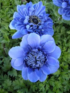 """Windflower 'Harmony Blue'. Anemone coronaria. 8-12"""" tall. Blooms in May."""