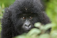 Baby mountain gorilla via @harpertravel
