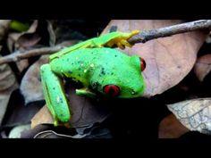 Agalychnis callidryas - Rana espectacular - YouTube
