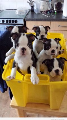 Boston Puppies