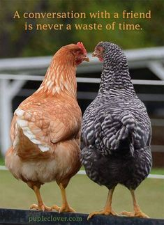 "Frequency Needed To Clean The Coop While chickens may be ""simple"" animals, they still like to feel comfortable and part of that comfort involves Beautiful Chickens, Beautiful Birds, Animals Beautiful, Bon Couple, Farm Animals, Cute Animals, Chicken Art, Chicken Quotes, Chickens And Roosters"