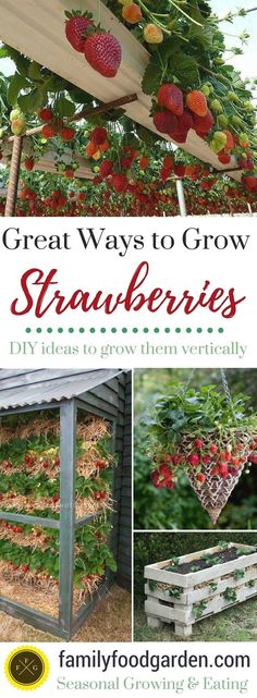 So many ways to grow strawberries! Growing strawberries in containers, strawberry planters & strawberry pots is a great way to keep the strawberries off the ground & away from pests. Grow strawberries…MoreMore  #GardeningTips