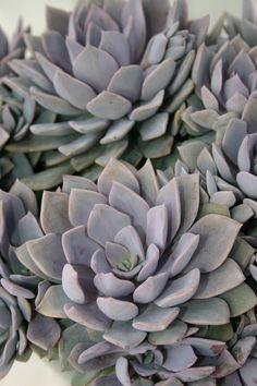 Graptopetalum debbii - Succulent Gardens