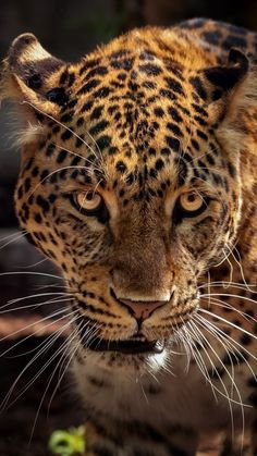 A Jaguar is not a leopard. A Jaguar is much bigger, lives not in Africa but in the jungles if South America. They have the strongest jaws of all the big cats. Animal Jaguar, Jaguar Leopard, Leopard Face, Black Jaguar, Beautiful Cats, Animals Beautiful, Wild Animal Wallpaper, Animals And Pets, Cute Animals