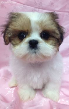 Shih Tzu's are so cute. We have a new Tails Untold Personalized Pet Book to create about for a Shih-Tzu! Can't wait!
