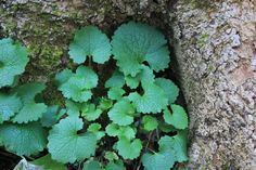 Garlic Mustard (Alliaria petiolata) is one of our earlier wild spring greens. With a flavor slightly reminiscent of mild arugula and roasted garlic, it makes a nice addition to salads with milder wild greens like chickweed and violets.