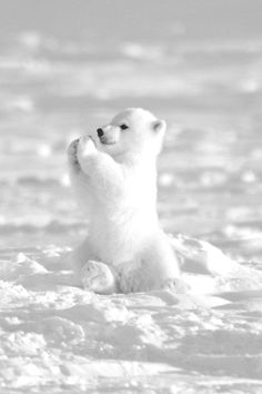How cute is this white polar cub?
