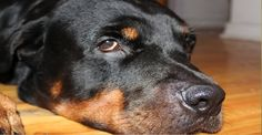 Louisiana Town to Kill All Pit Bulls and Rottweilers: Those Who Don't Surrender Face Police Action