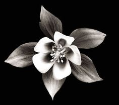 Columbine- black and white