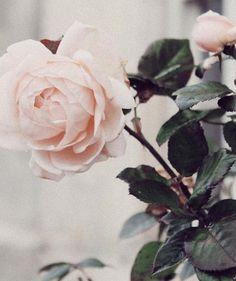 Rose is a rose is a rose is a rose     Gertrude Stein