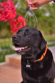 Labrador Retrievers love a good head scratch