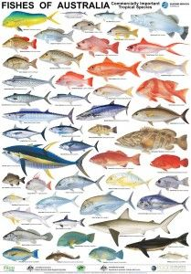 Australian Fish Posters set of 3