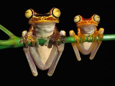 Chachi Tree Frogs.