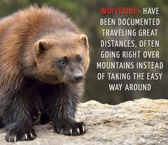 Fun Facts About Animals, Animal Facts, Wtf Fun Facts, Funny Facts, Rare Animals, Animals And Pets, Wolverine Animal, Interesting Animals, Honey Badger Humor