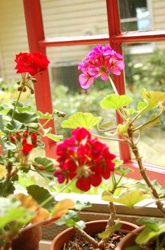 How to overwinter geraniums indoors!