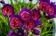 """Geissorhiza radians -- indigenous to South Africa -- common name """"kelkiewyn"""" or cup of wine"""