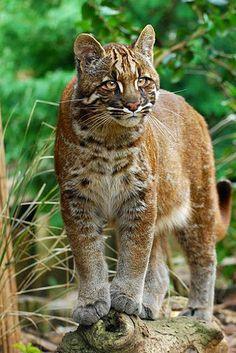 Asian Golden cat ? ~
