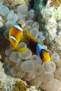 Anemone fish in their host anemone at Shaab Marsa Alam, Red Sea, Egypt #SCUBA | Flickr - Photo Sharing!