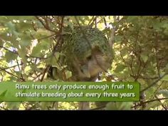 kakapo chicks - YouTube