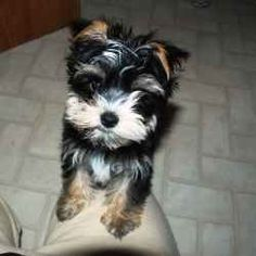 168 Best Morkies Images Morkie Puppies Cut Animals Cute Puppies