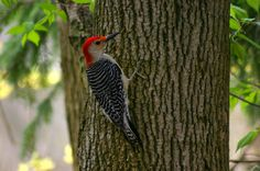 Why Don't Woodpeckers Get Brain Damage? | Mental Floss