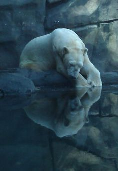 Bear Reflections