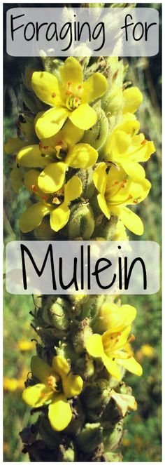 Foraging for Mullein